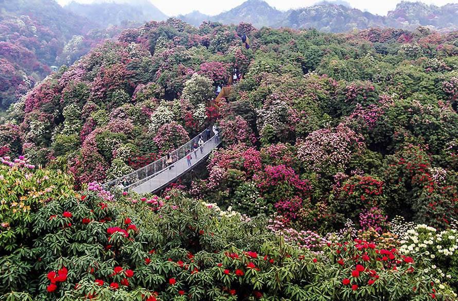 世界上最大的天然花园:《百里杜鹃风景区》-01