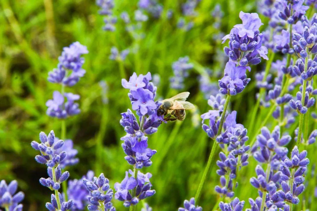 另一种普罗旺斯的风情——荔波香草园+黔北花海等您哦